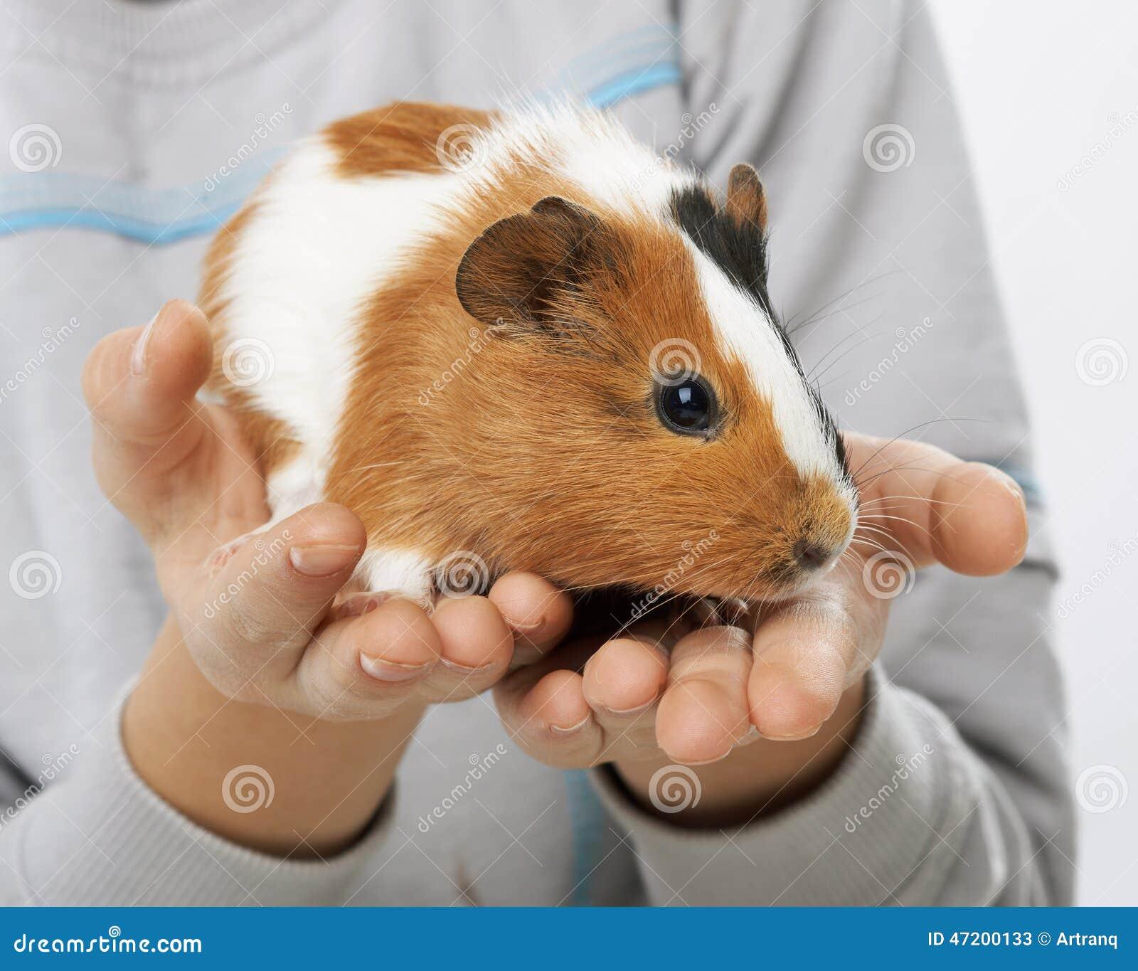 Proefkonijn in de handen van een jongen