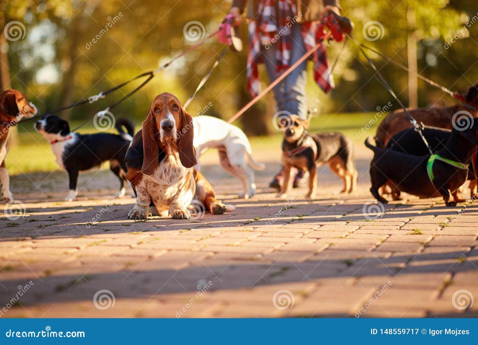 Profesjonalisty Psi piechur - Basset Hound cieszy si? w spacerze