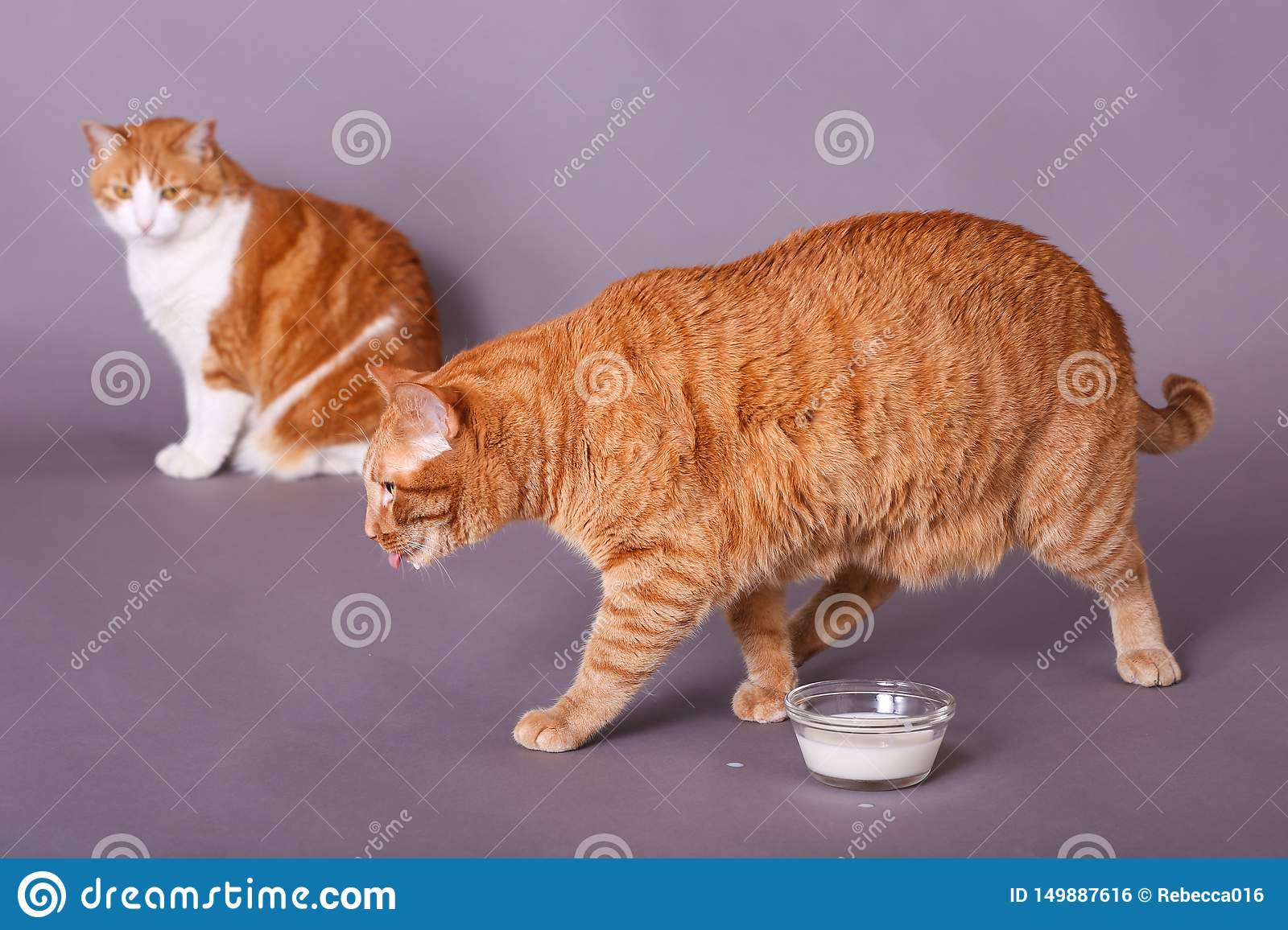 Orange domestic cat walking away from bowl of milk licking lips tabby cat in background