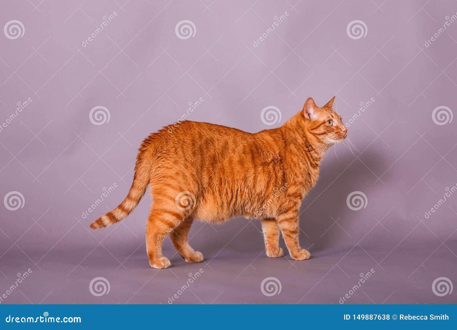 Full body profile of orange tabby cat in studio portrait