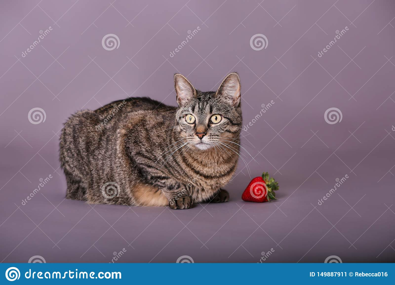Tabby Cat Sitting By Whole Strawberry Wide Eyes Long Whiskers In Studio Portrait Stock Image Image Of Cats Long 149887911