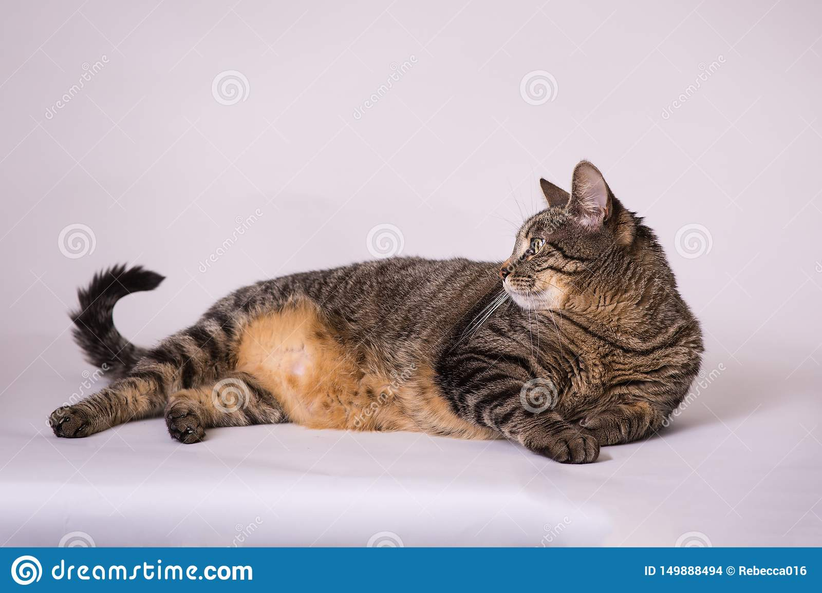 Domestic house cat laying down head up looking at curled tail
