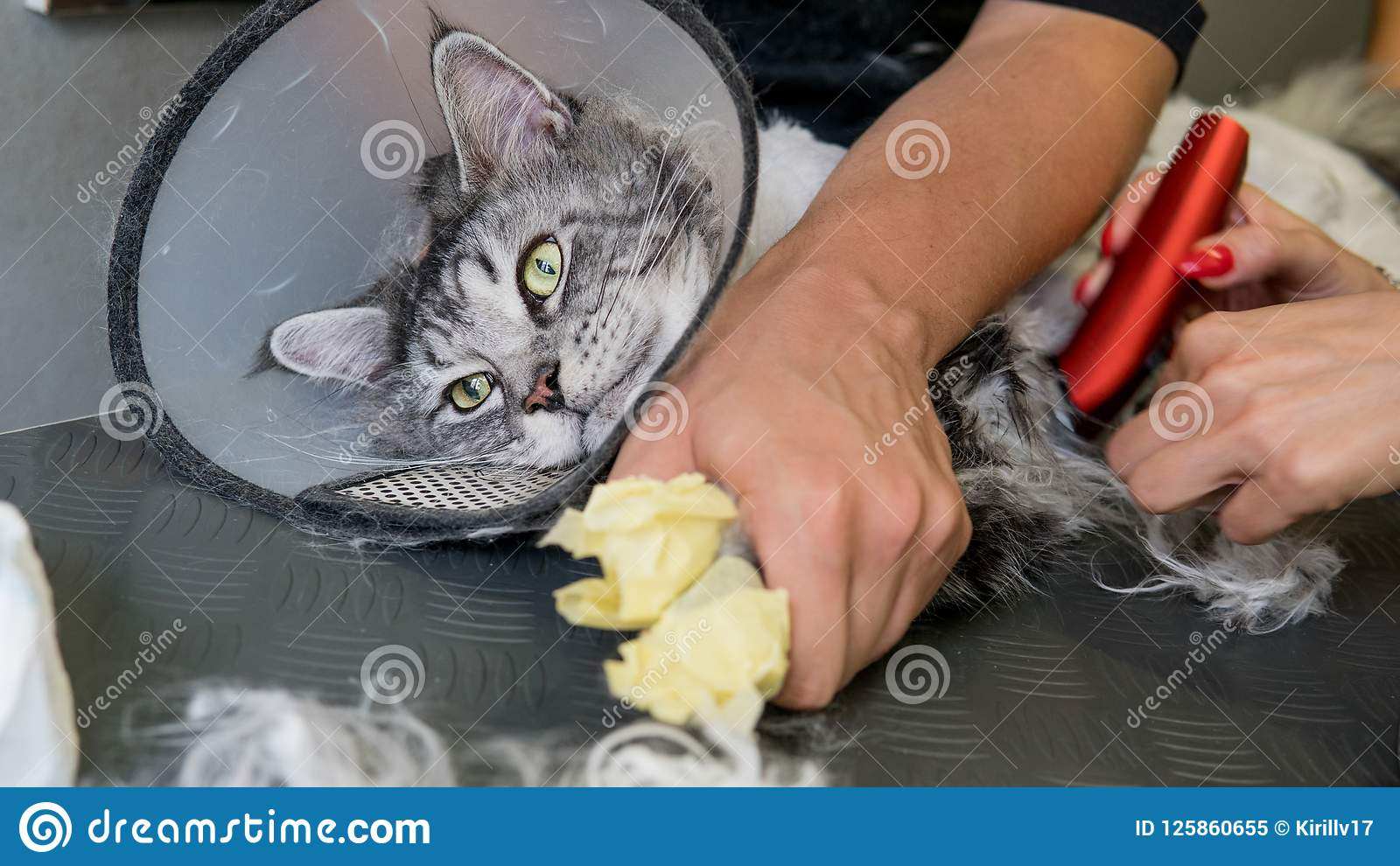 ProfessionellMaine Coon Cat Grooming närbild
