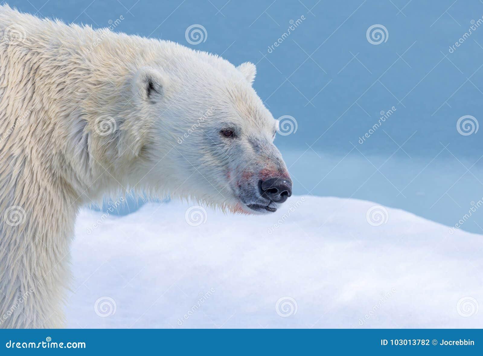Profiel van ijsbeer dichtbij Svalbard, Noorwegen