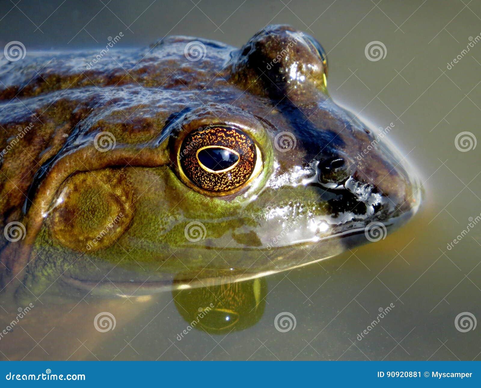 Profil américain de grenouille mugissante