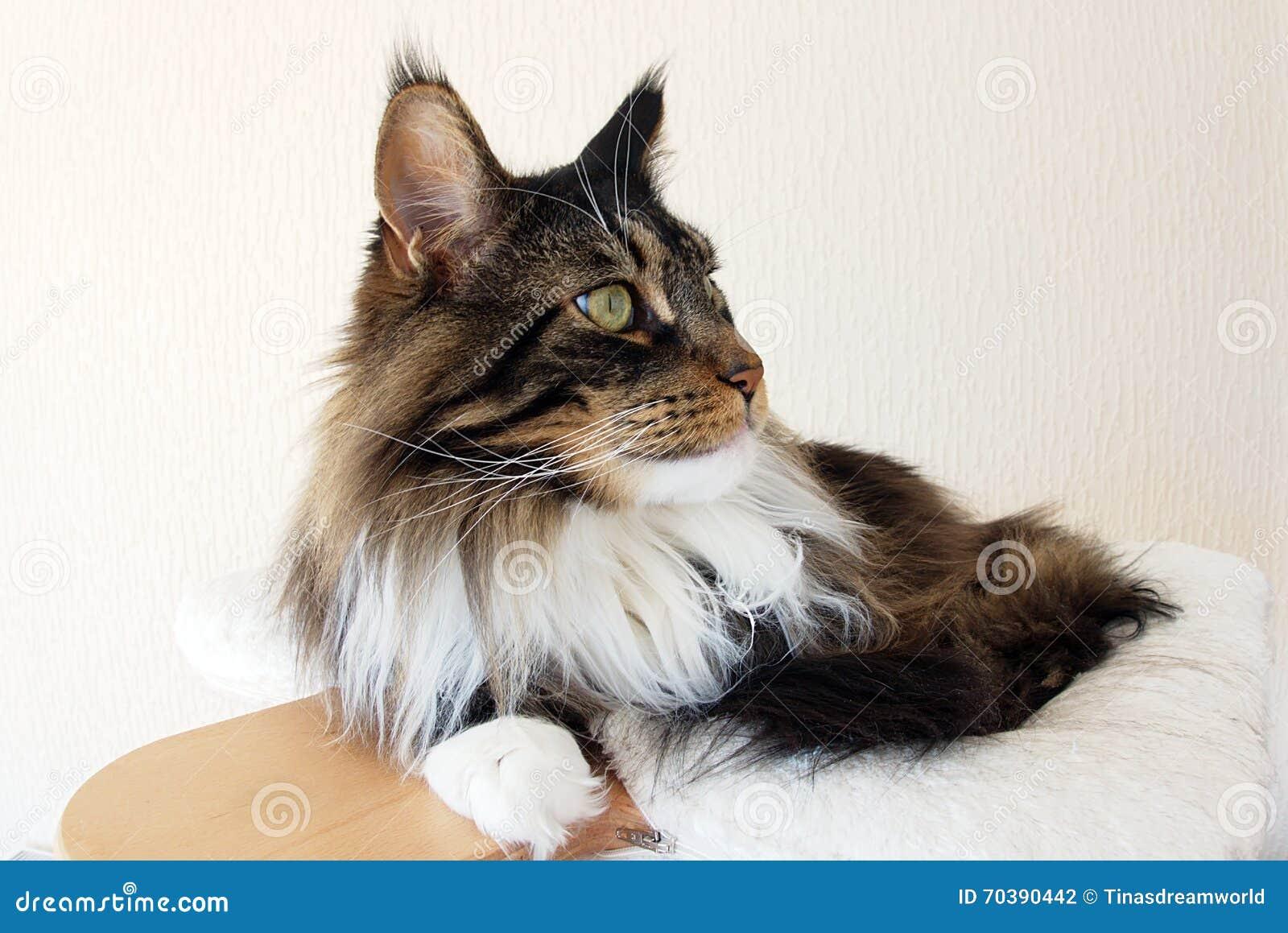 Profil av en brun strimmig katt med den vita Maine Coon katten