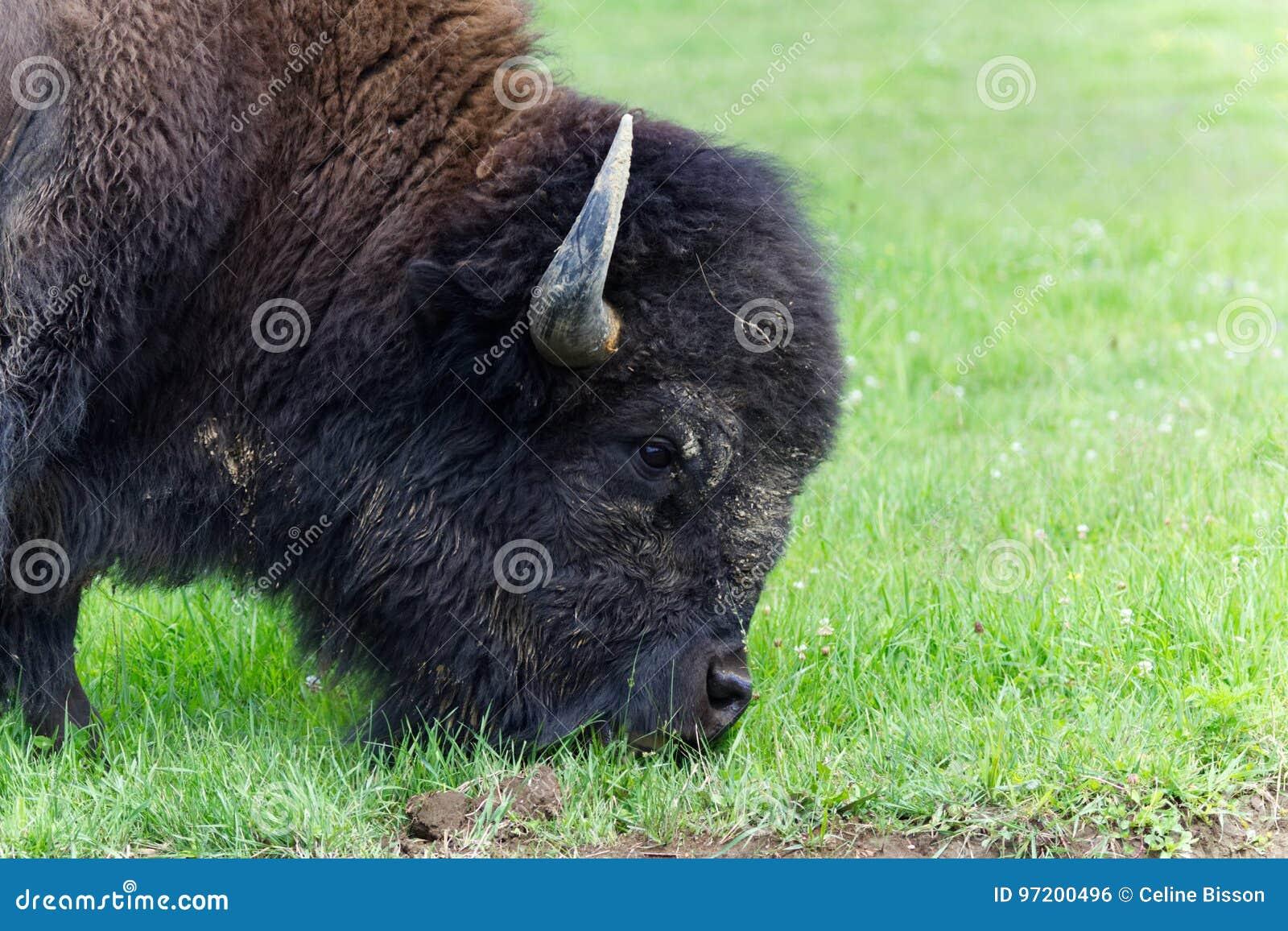 Profil de bison américain