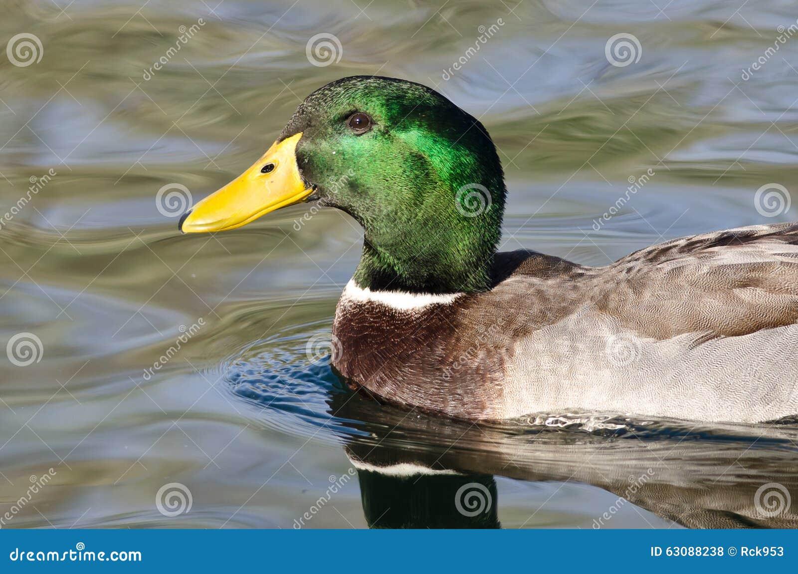 Download Profil De Canard De Mallard Comme Il Nage Dans L'eau Verte Photo stock - Image du flotter, d0: 63088238