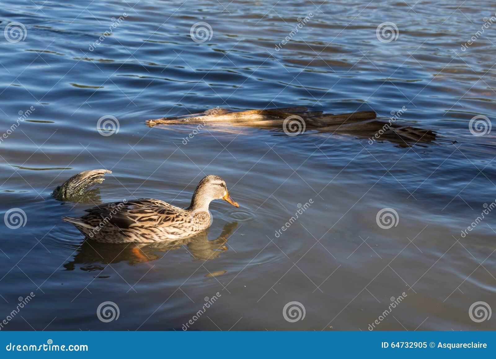 Profil de canard femelle simple dans l étang