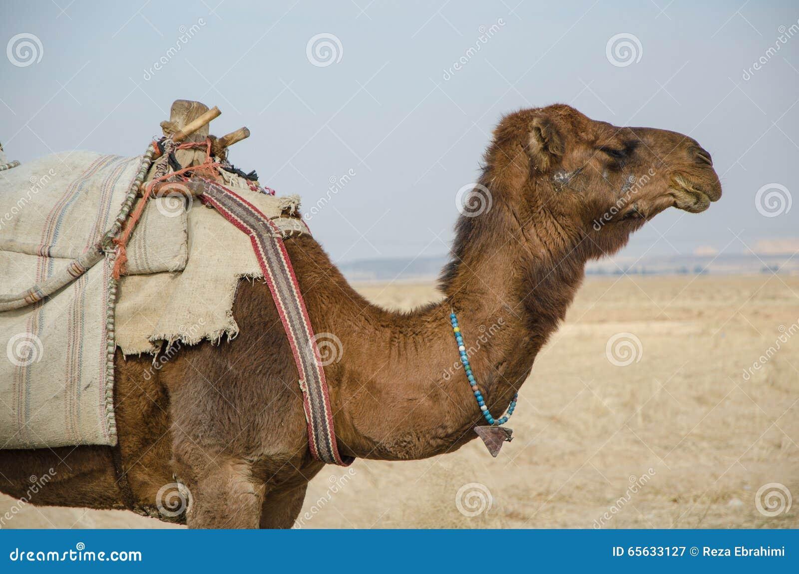 Profil de chameau