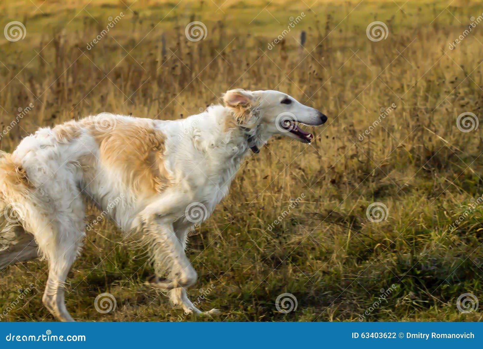 Profil de chien russe fonctionnant de chien-loup