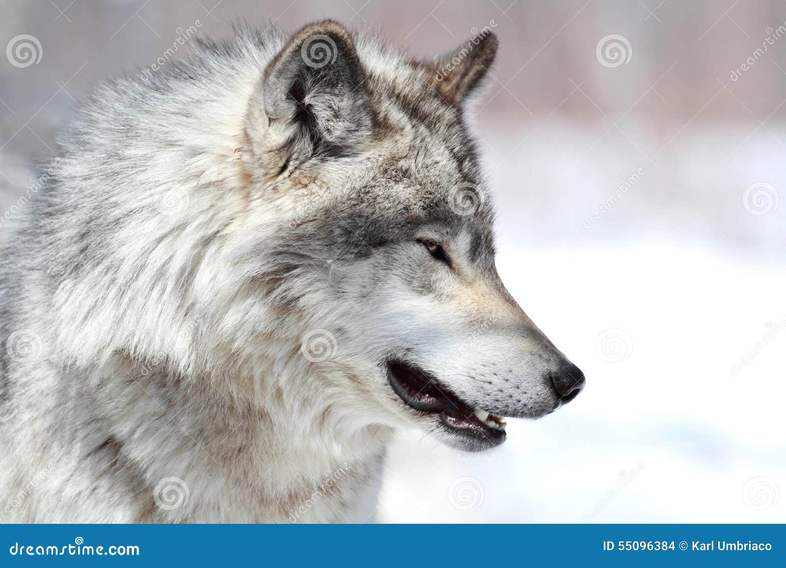 1 544 Profil De Loup Photos Libres De Droits Et Gratuites De Dreamstime