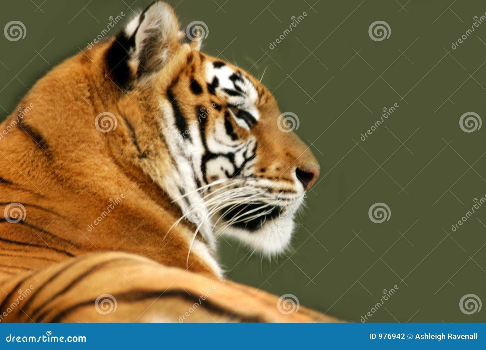 Profil de tigre