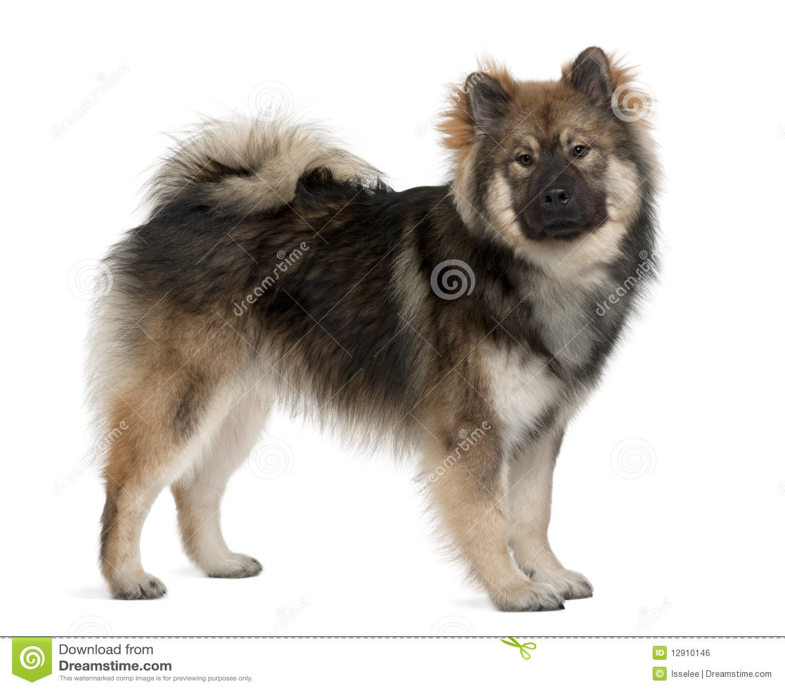 Profil des Eurasier Hundes, stehend