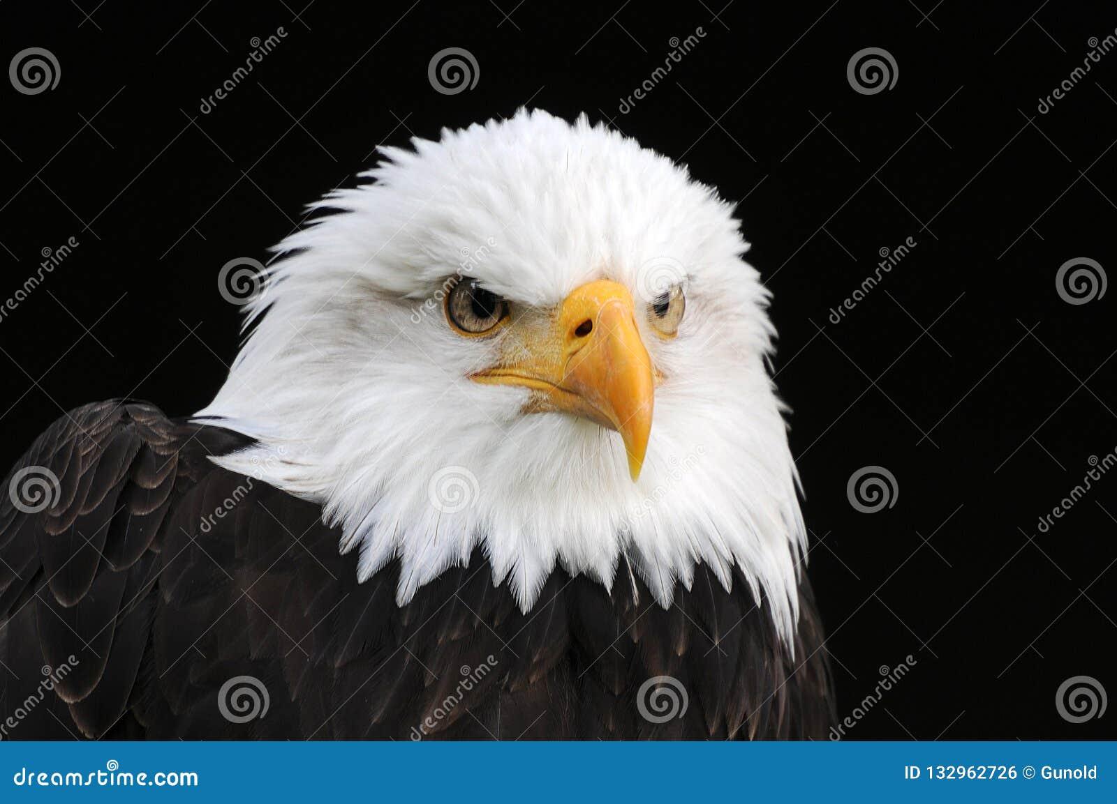 Profil eines kahlen Adlers