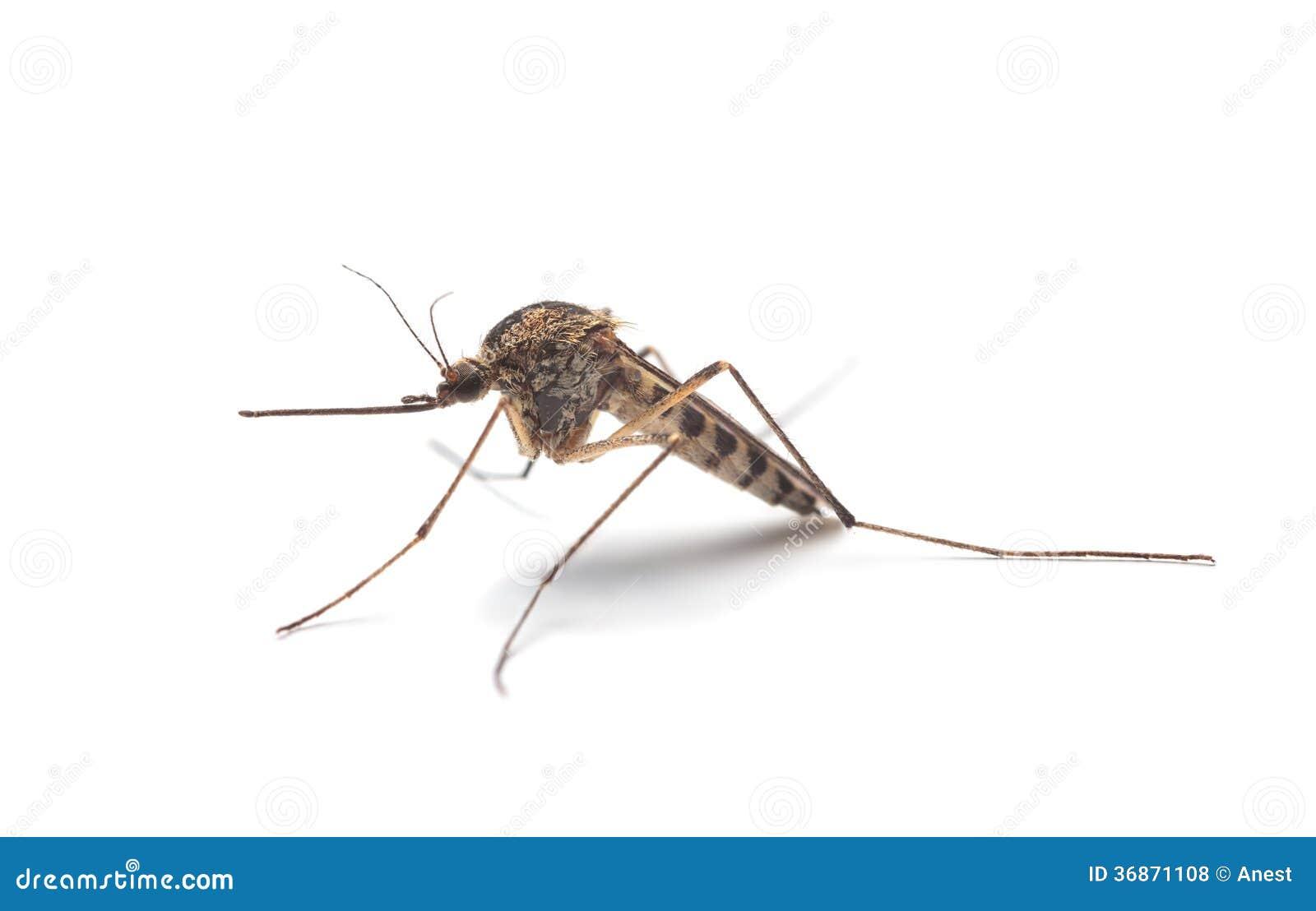 Profil för mygga (Culexpipiens)