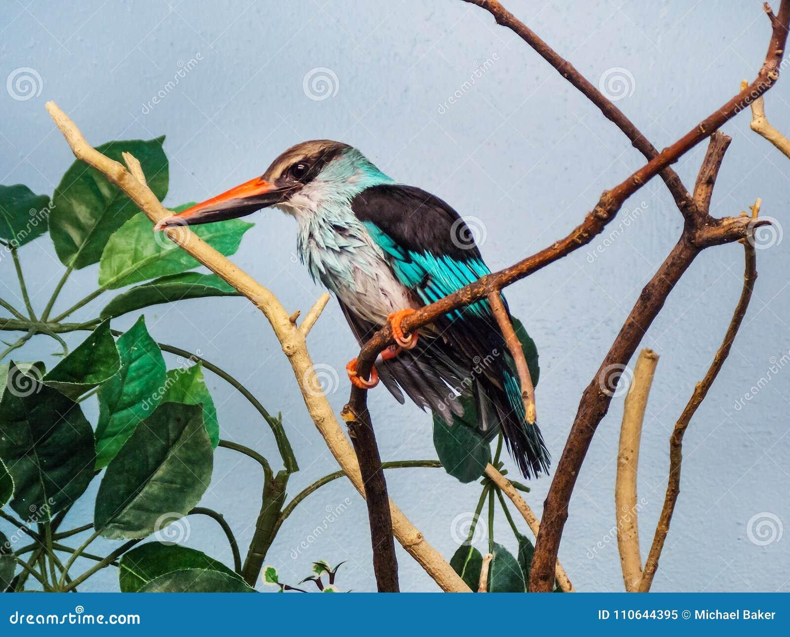 Profil latéral d un martin-pêcheur