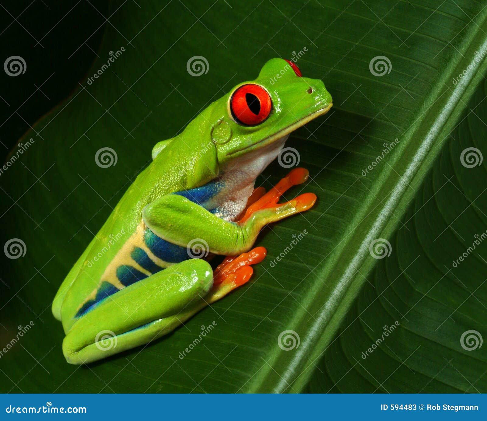 Profil rouge de grenouille d arbre d oeil