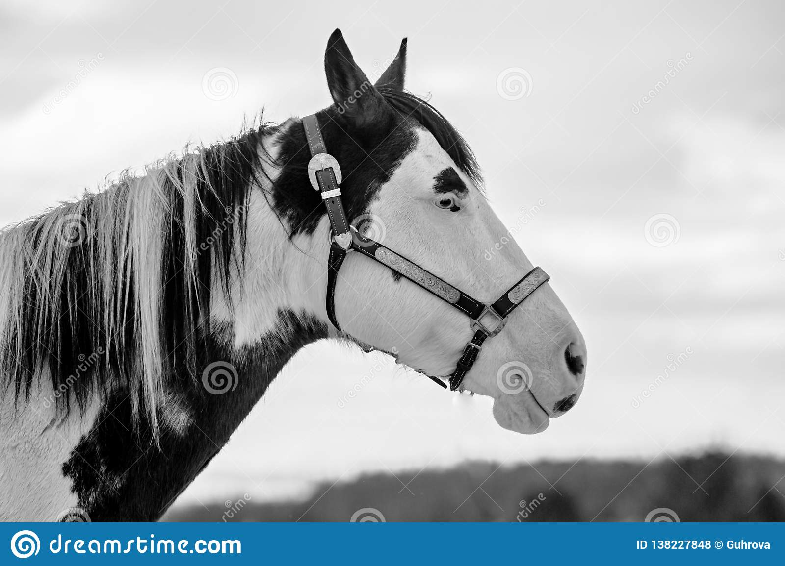 In profile black and white portrait of beautiful white and black horse