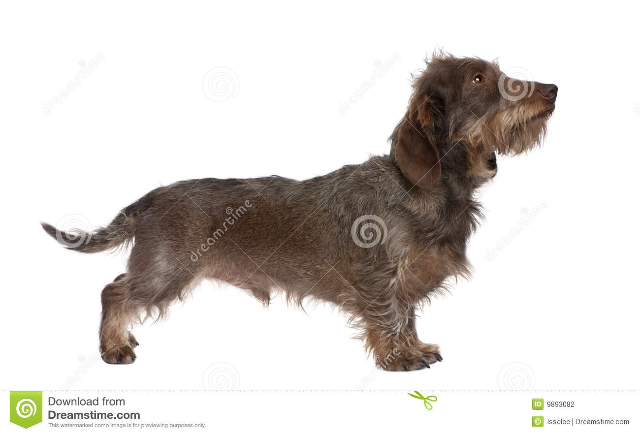 Profile Of A Brown Wire-haired Dachshund Stock Photo - Image of ...