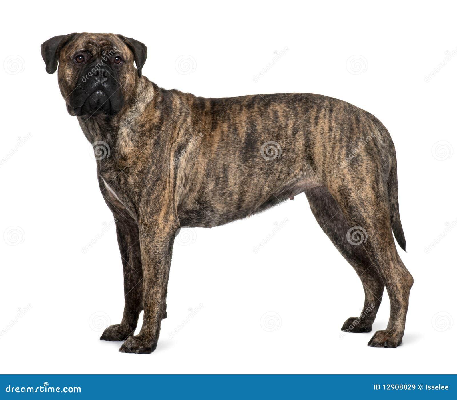 Profile of Bullmastiff dog, standing