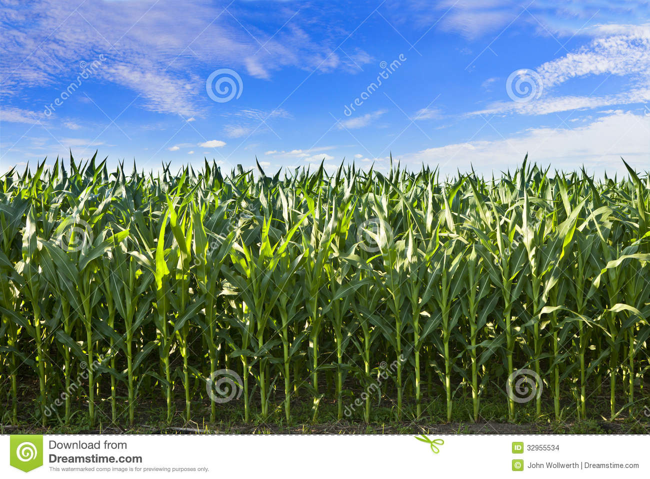 Download Profile of corn crop stock photo. Image of vegetable - 32955534