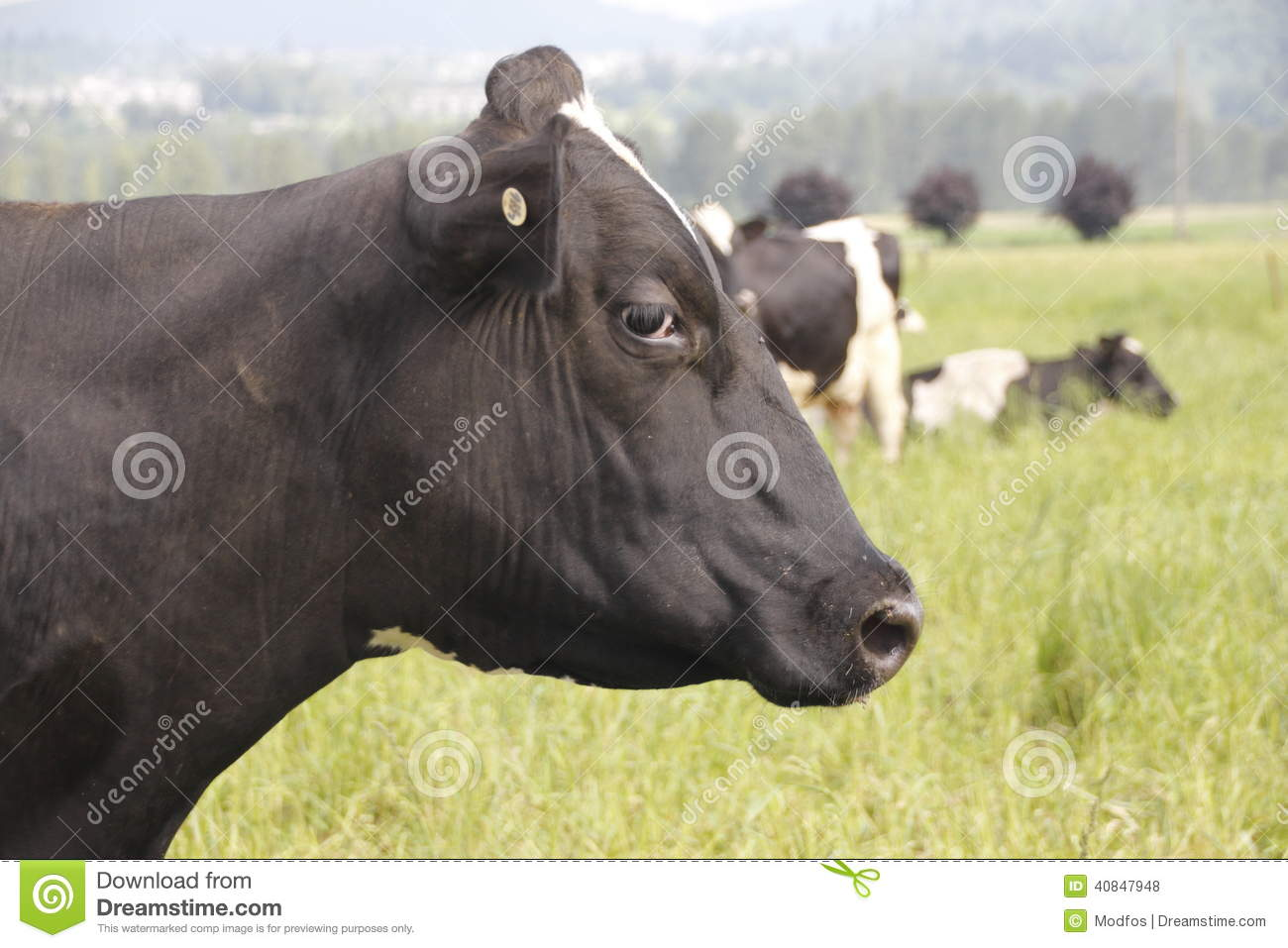 profile-dairy-cow-side...