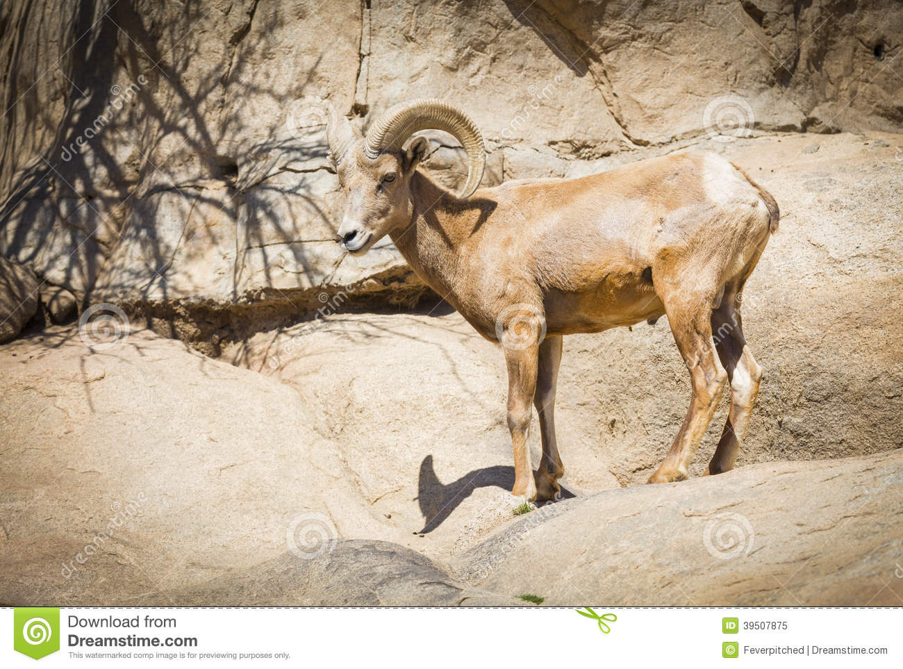 Profile of a Desert Bighorn Sheep