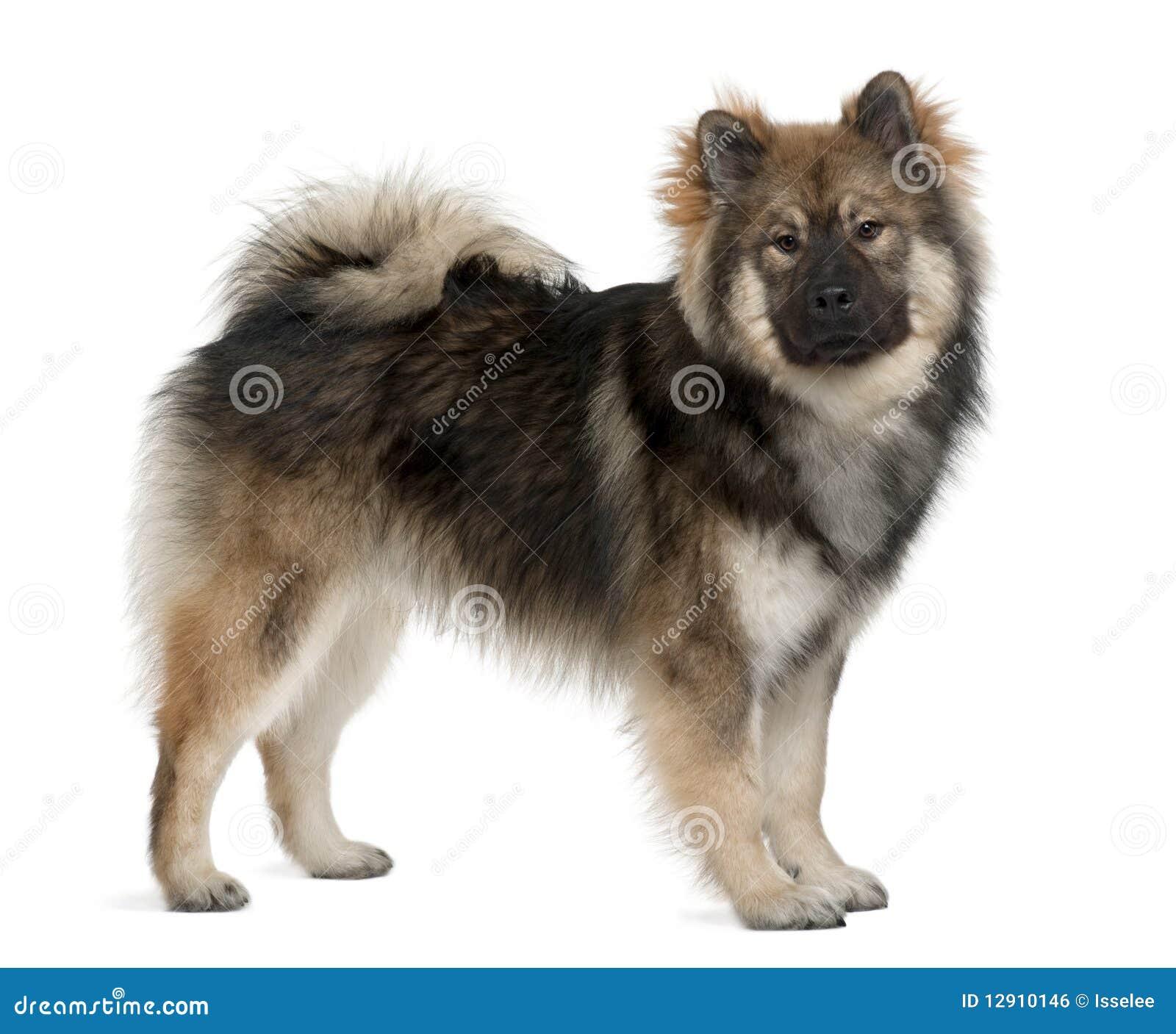 Profile of Eurasier dog, standing