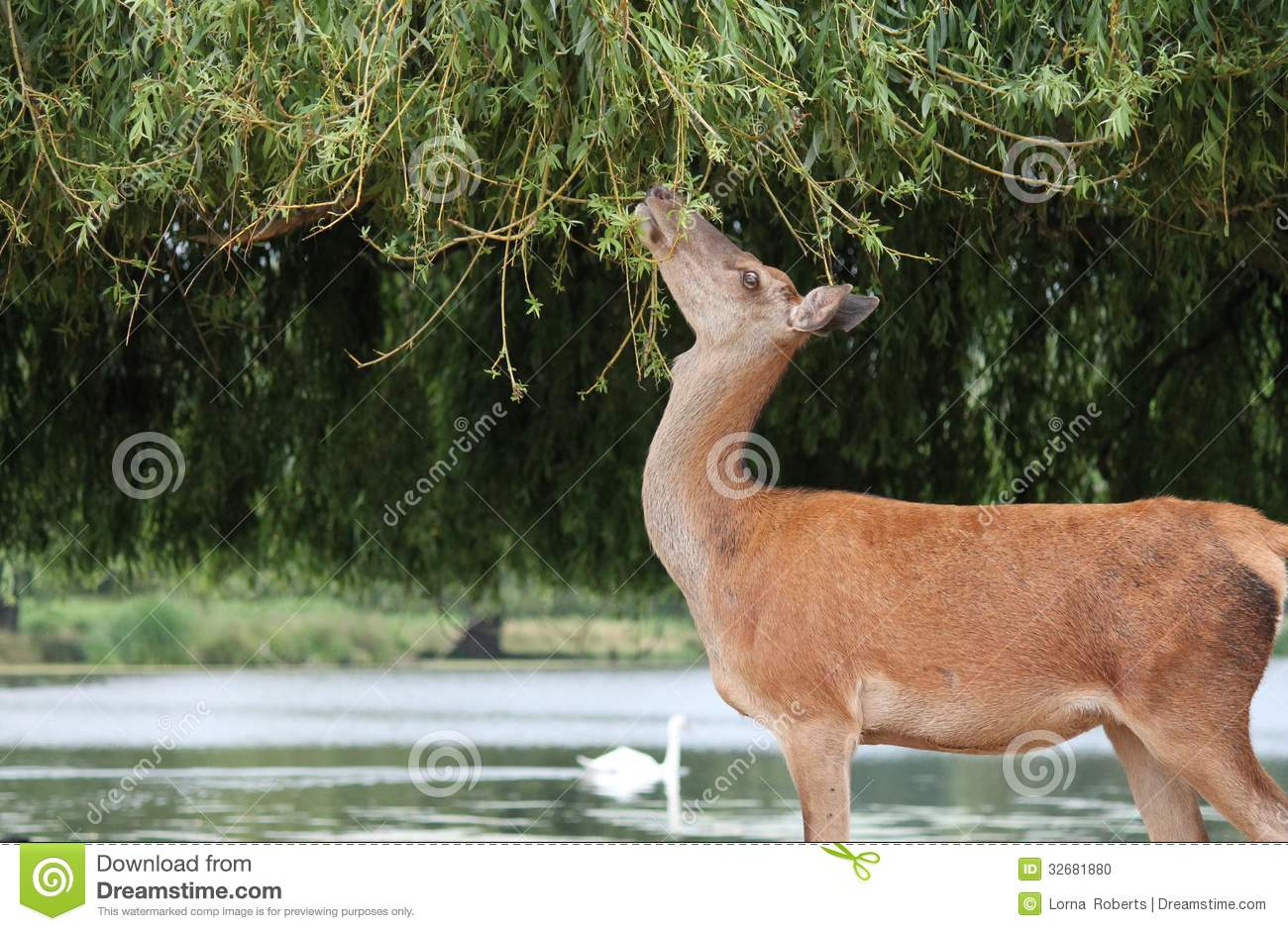 deer Profile fallow eating from tree reaching stretch up