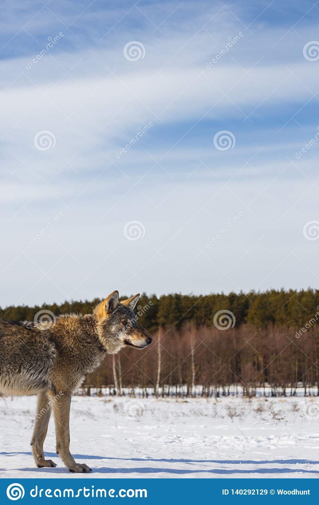 Profile of a gray wolf in a field against a snowy sky and a forest in the distance