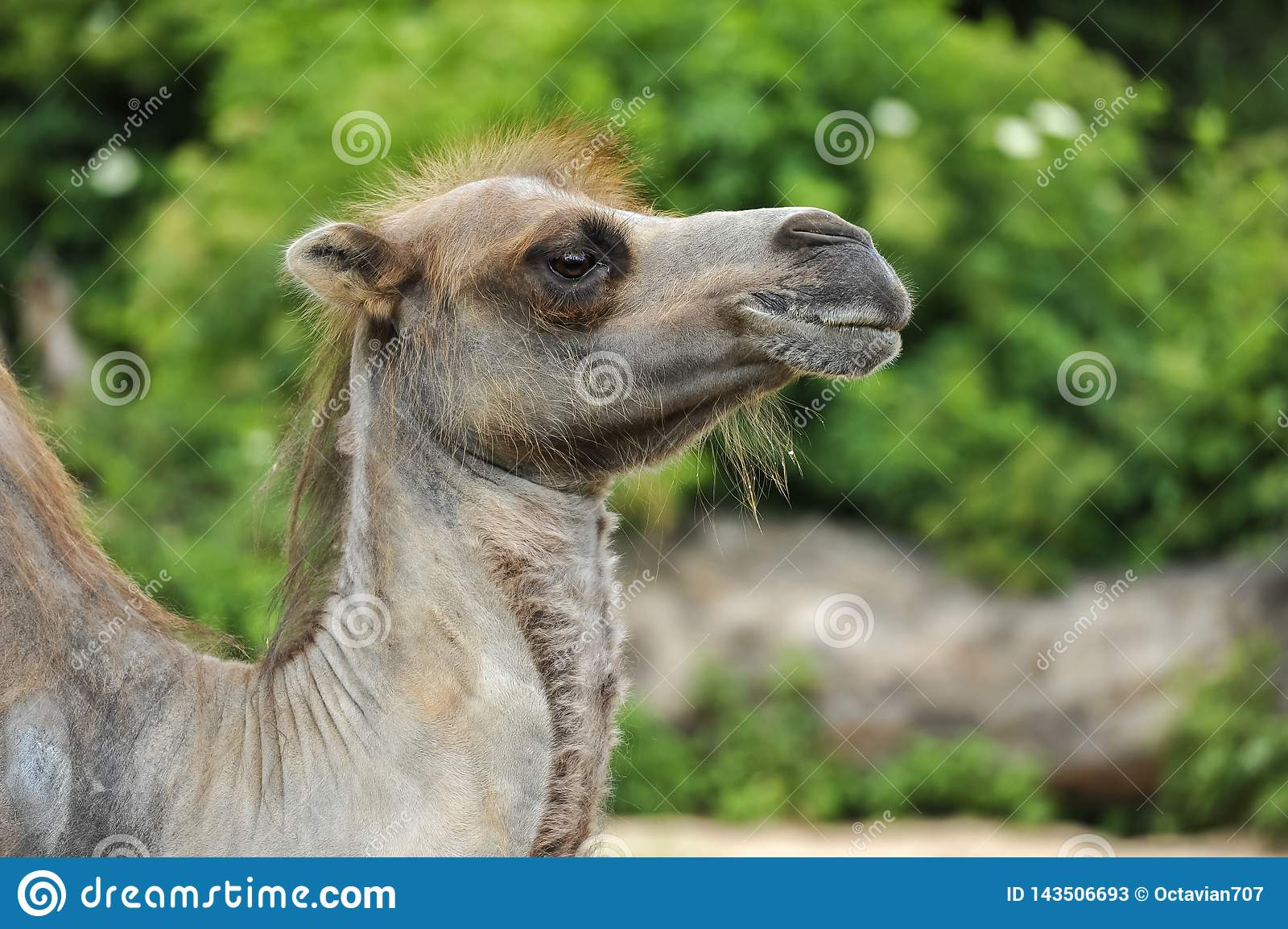 Profile of a hairy camel in green vegetation
