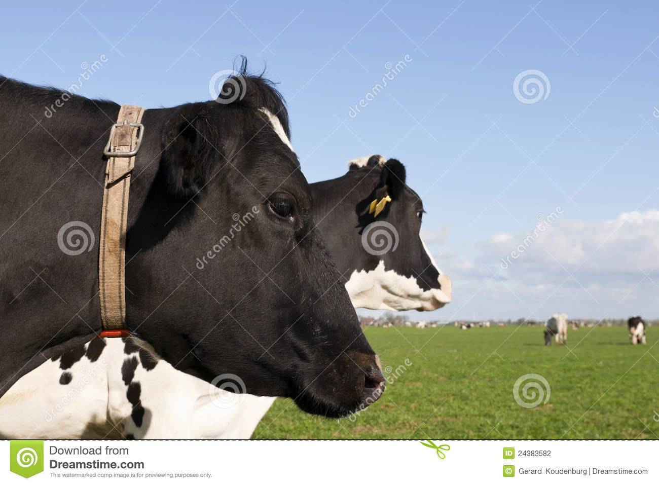 Best Holstein Cattle Stock Photos, Pictures & Royalty-Free ... |Dairy Cow Head Profile