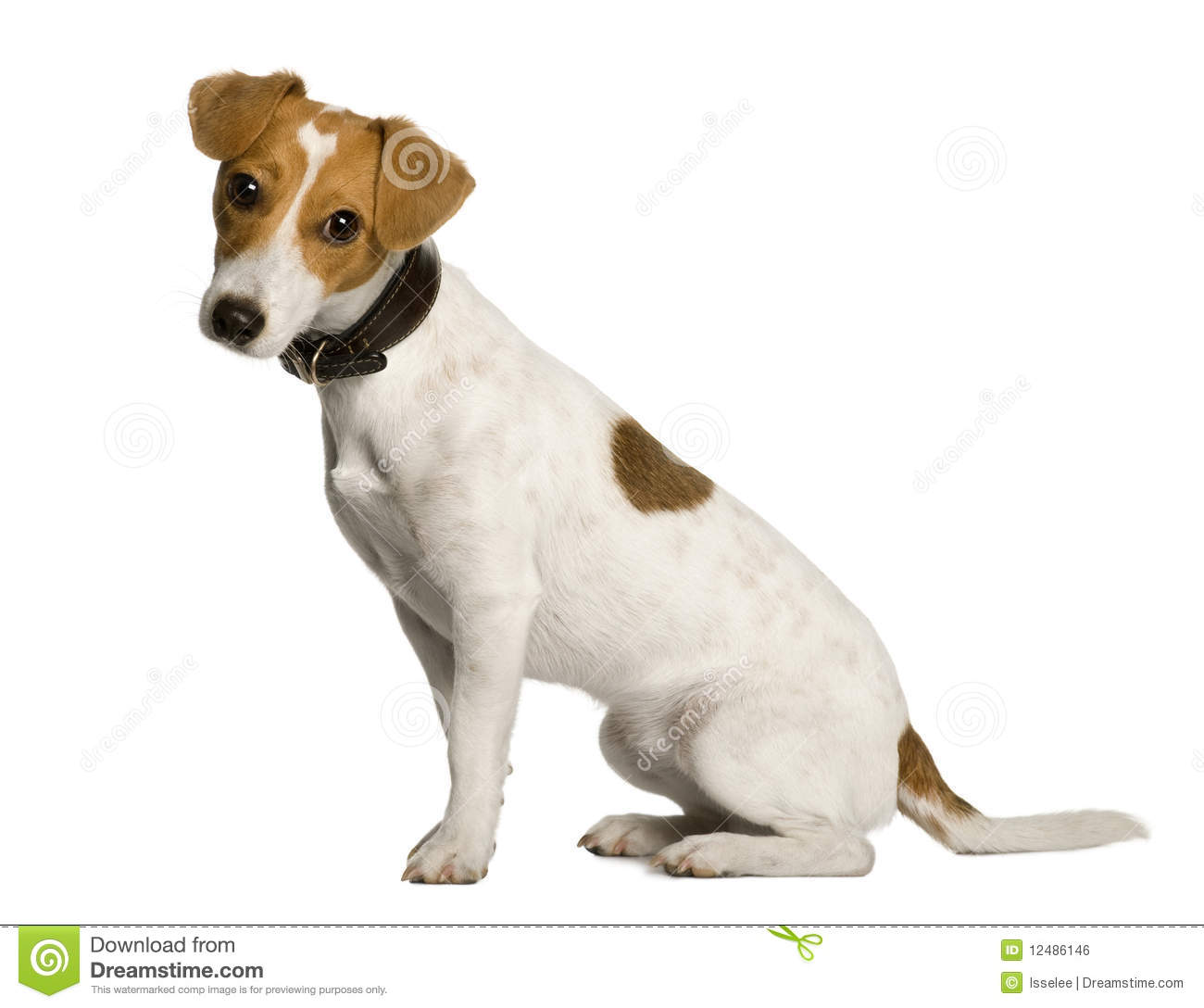 Jack Russell Terrier, 1 year old, sitting in front of white background ...