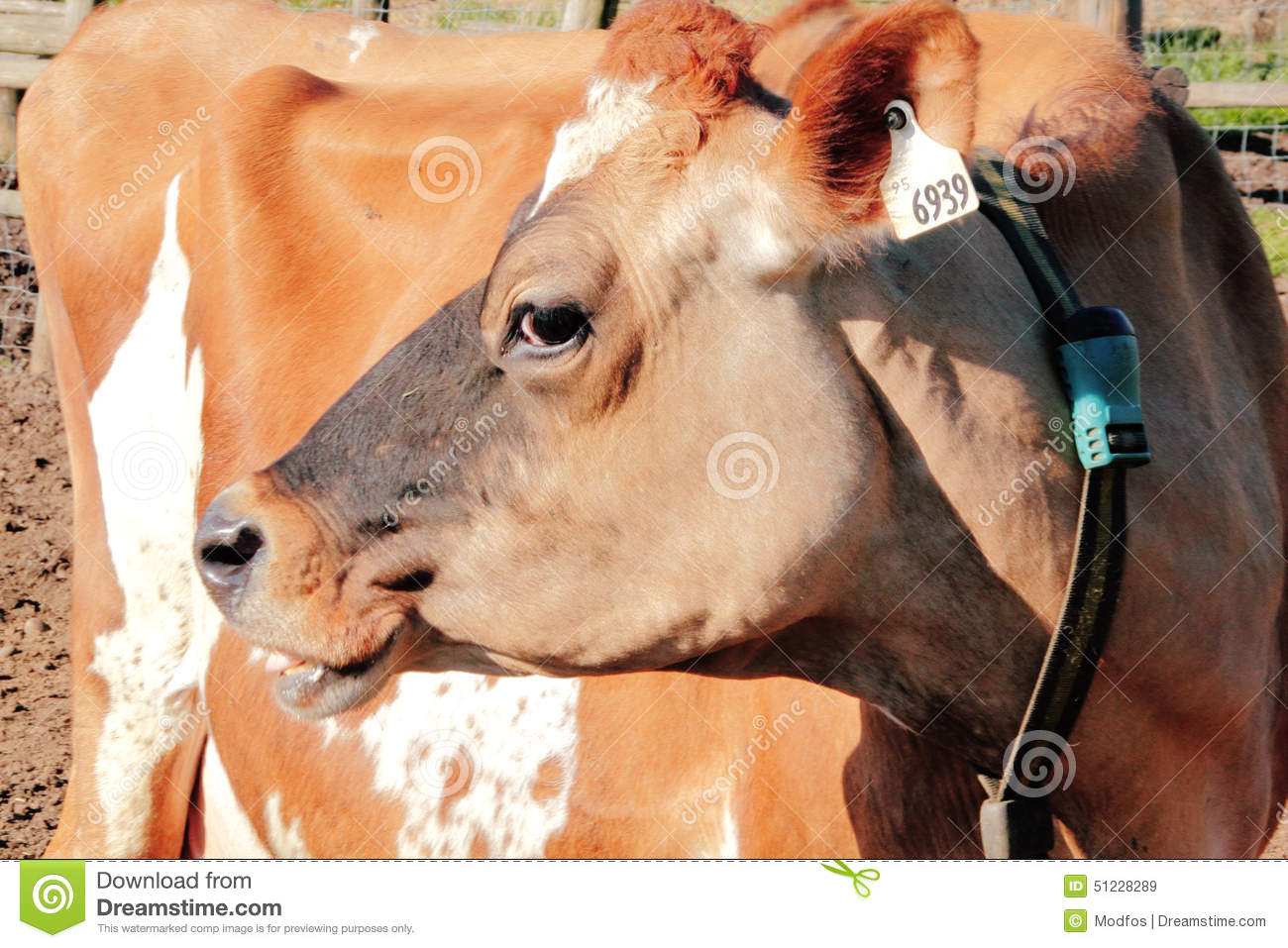 Profile of a Jersey Cow stock image  Image of looking - 51228289