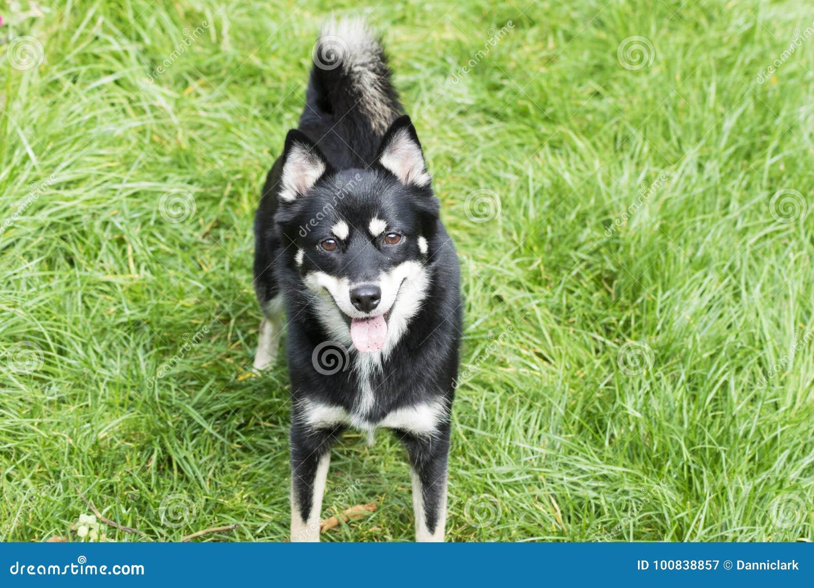 Dog - Pomsky