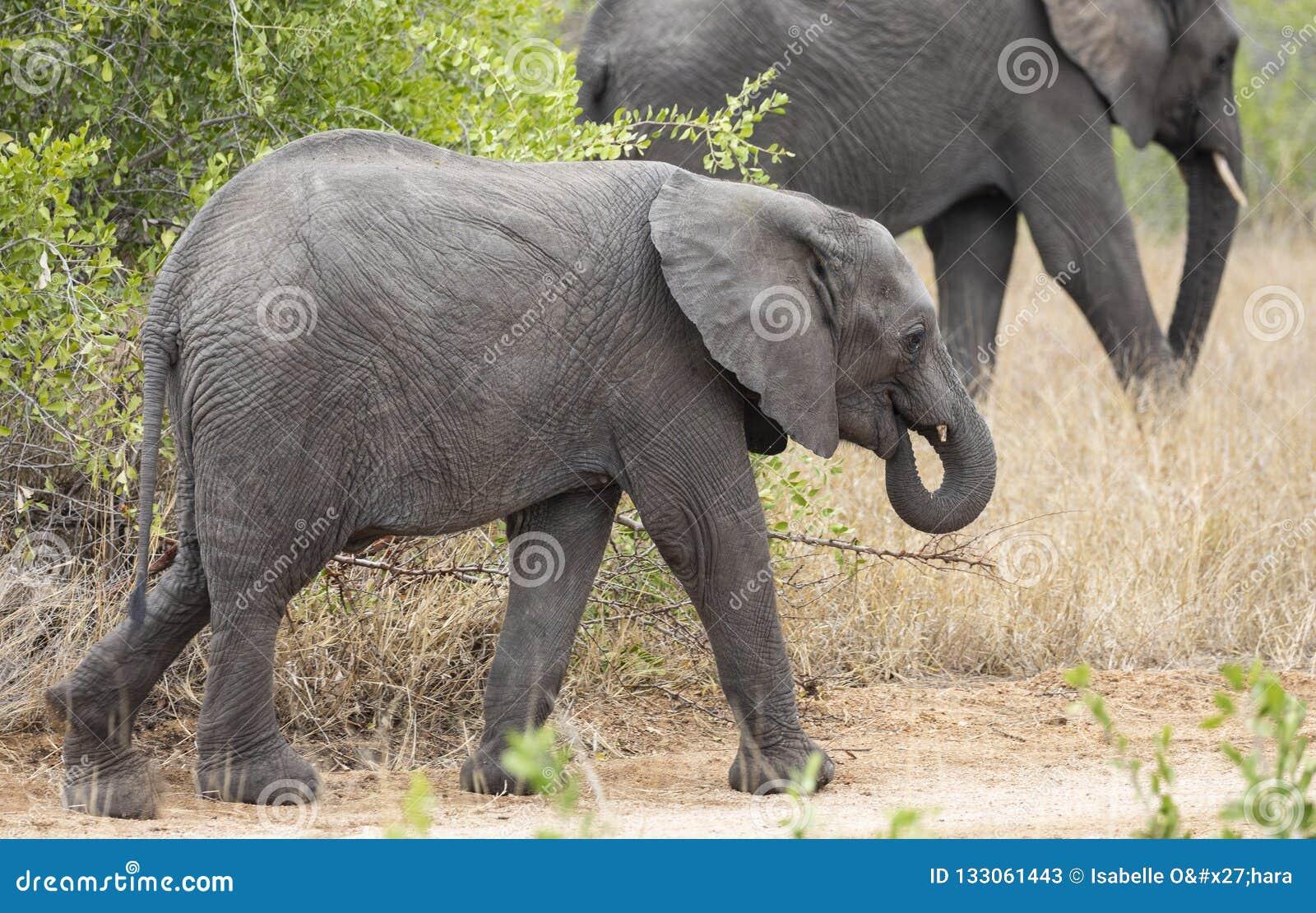 Profile portrait of baby elephant, Loxodonta Africana, walking with larger elephant in background
