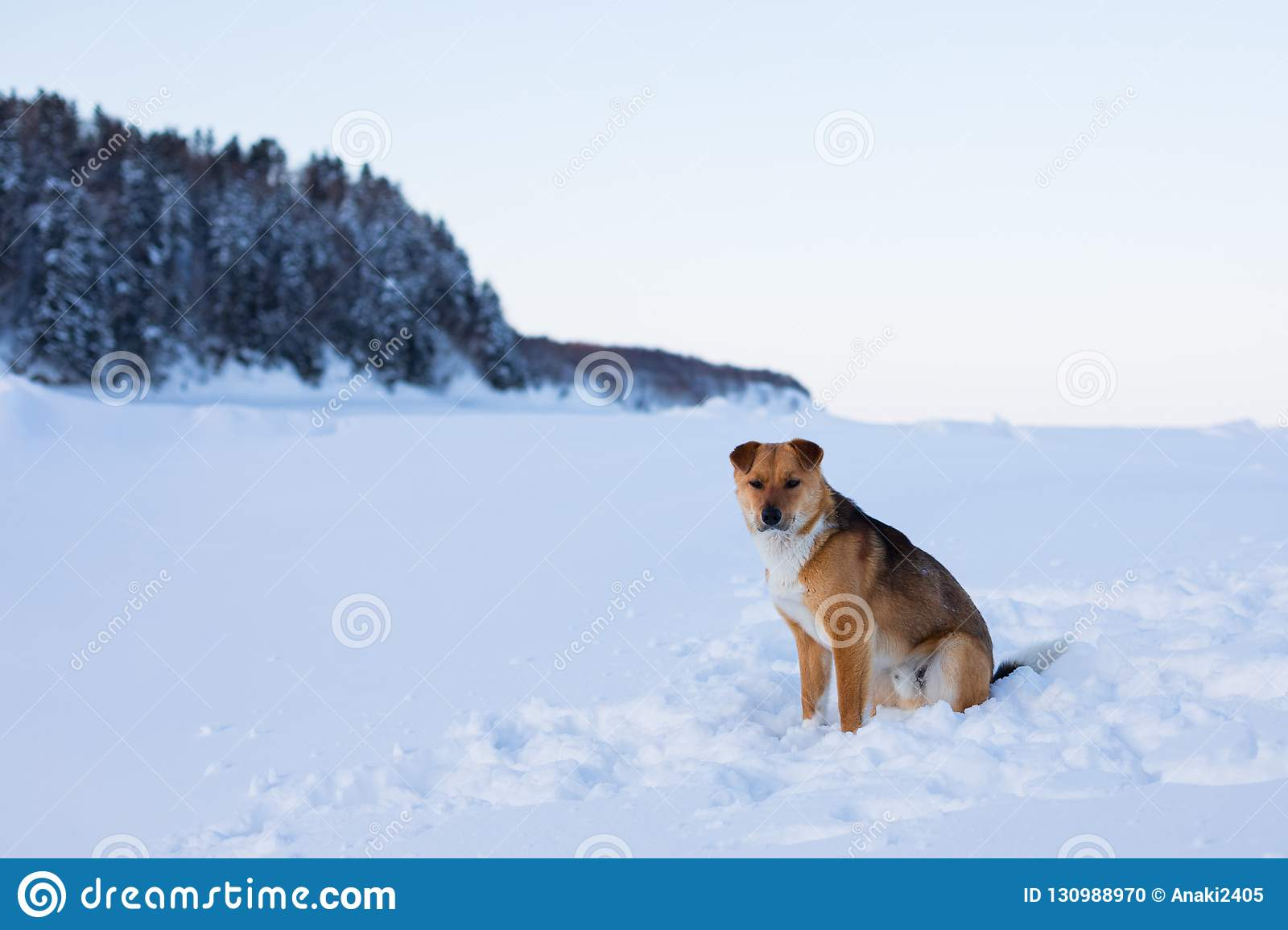 Profile portrait of beautiful red non pedigreed dog is on the snow and forest background