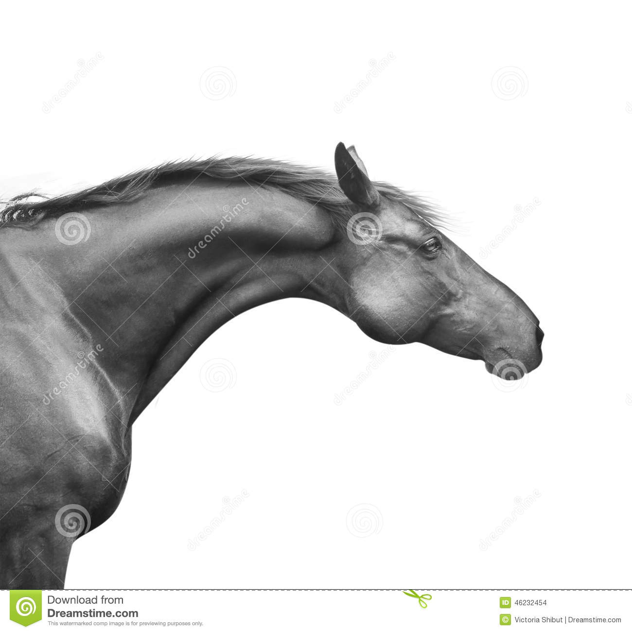 Profile portrait of black horse with good neck and head isolated on white