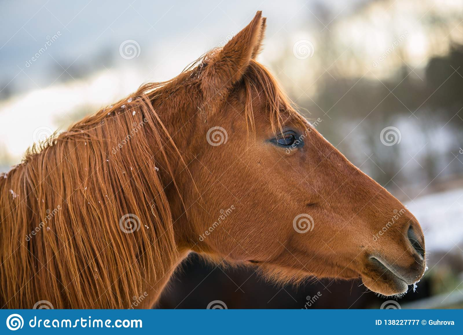In profile portrait of chestnut horse