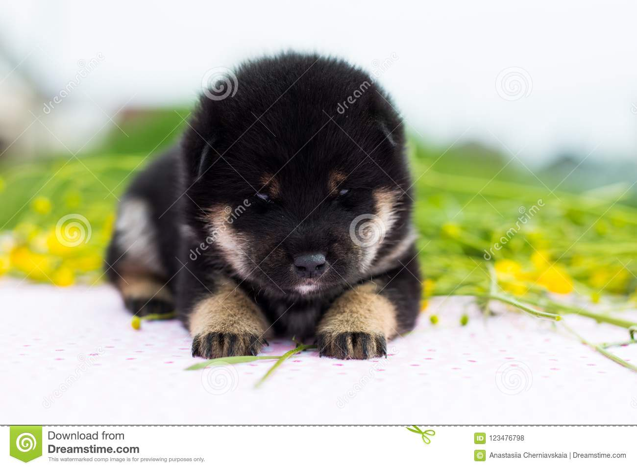Profile Portrait Of Serious Two Weeks Old Shiba Inu Puppy Lying On The Table In The Buttercup Field Stock Photo Image Of Background Japan 123476798