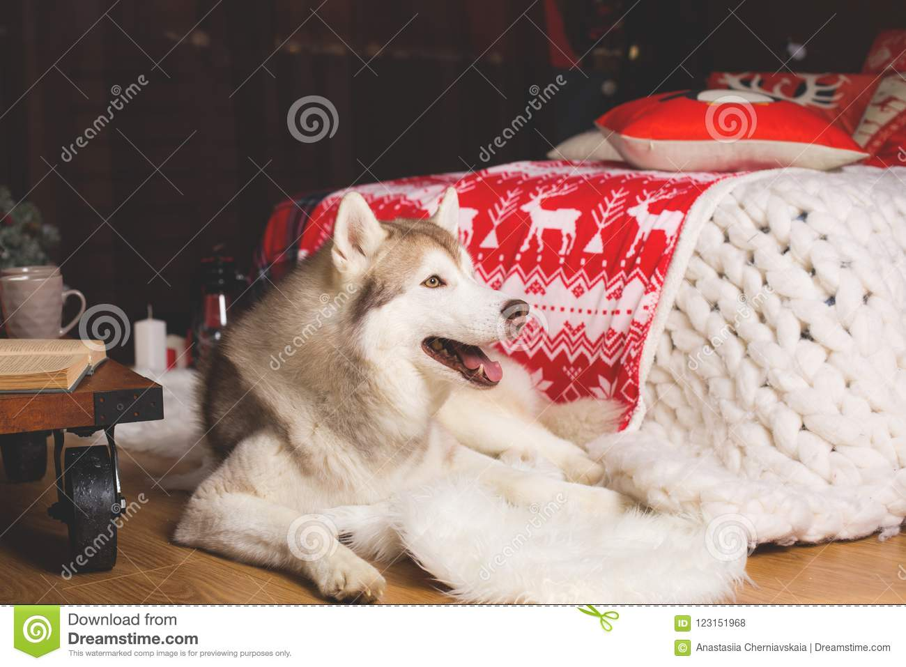 download profile portrait of siberian husky in christmas decorations stock photo image of celebration