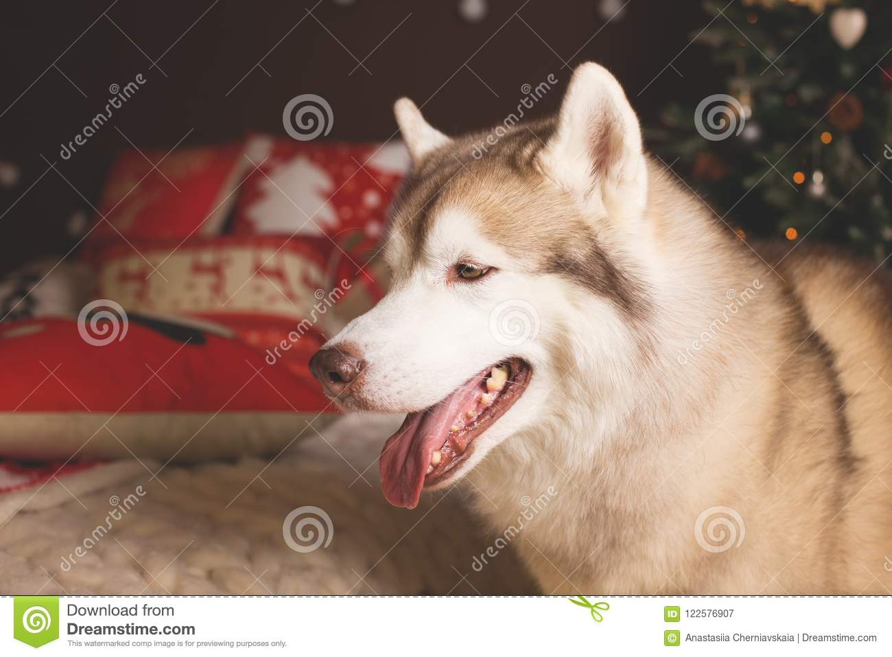 download profile portrait of siberian husky in christmas decorations stock image image of beautiful