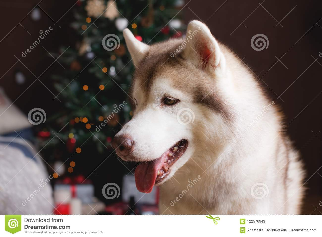 download profile portrait of siberian husky in christmas decorations stock image image of doggy