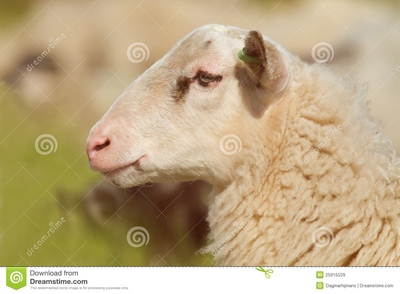 Profile Of A Sheep Royalty Free Stock Images - Image: 25915529
