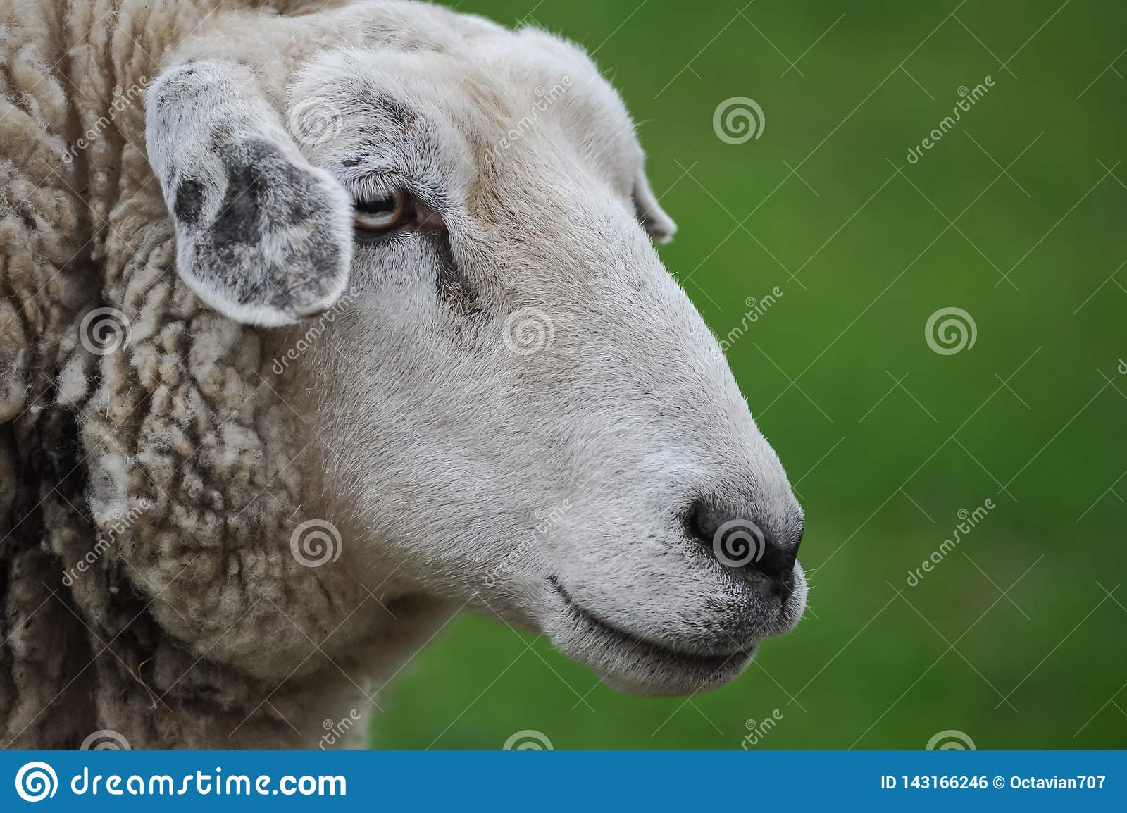 Profile of sheep on green blurred background