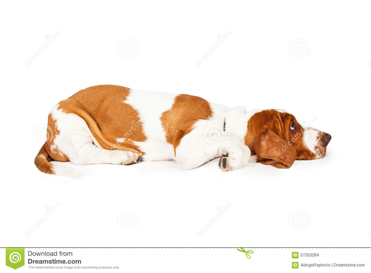 Profile of a Tired Basset Hound Puppy Laying