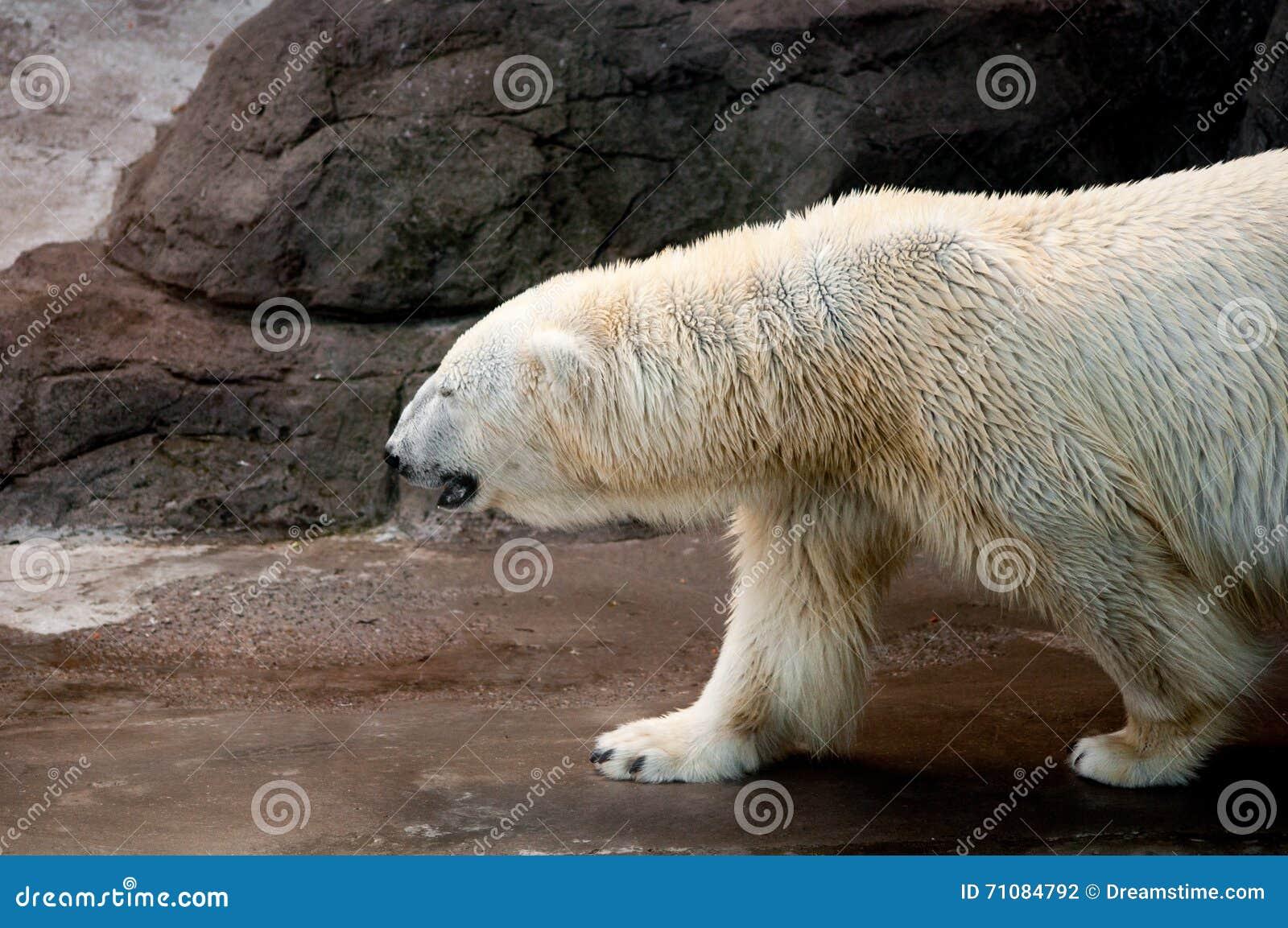 Profile of a walking polar bear