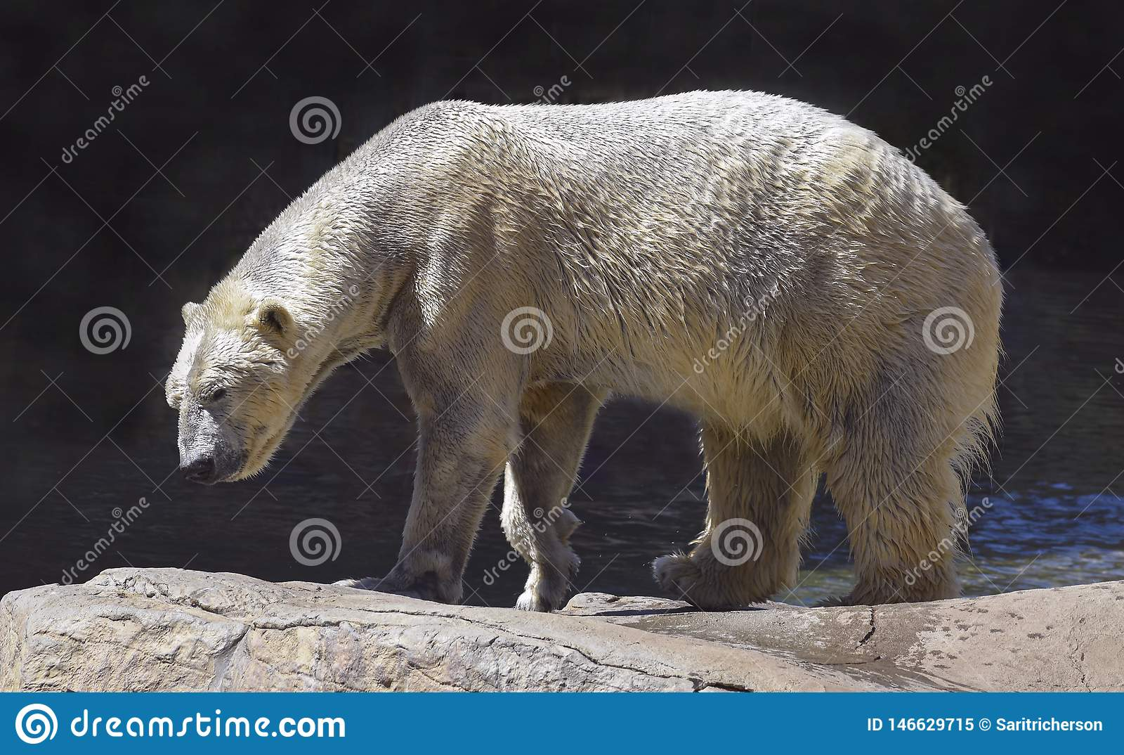 Wet Polar Bear Walking on Natural Boulders
