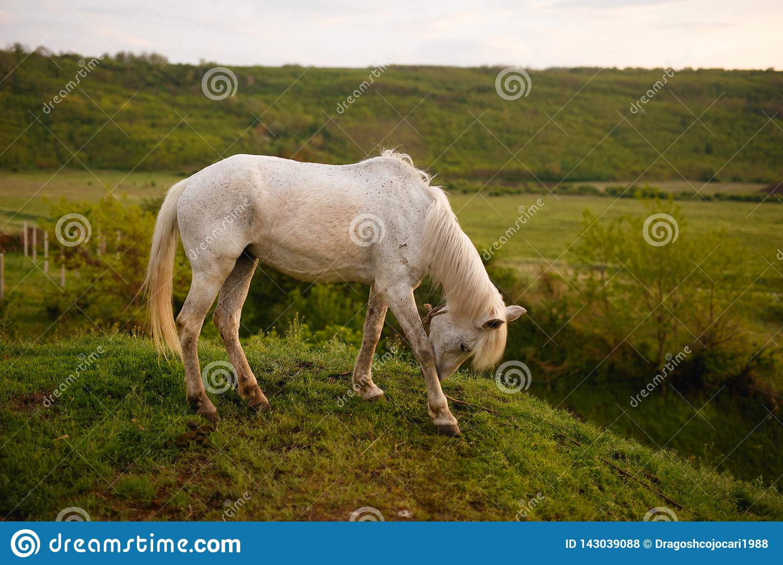 The profile of a white horse that bent his head, eating grass in the field. Animal in wild.